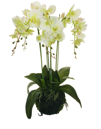 PHALENOPSIS REAL TOUCH