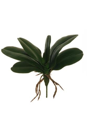 PHALAENOPSIS ORCHID LEAVES BUSH