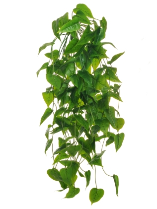 PHILODENDRON HANGING BUSH