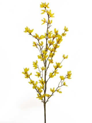 FORSYTHIA BRANCH STEM