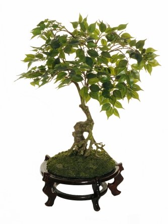 BONSAI FICUS REAL TOUCH & WOODEN CHINESE BASE