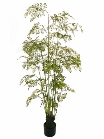 MAIDEN HAIR TREE
