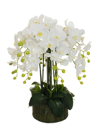 PHALAENOPSIS REAL TOUCH PLANT ON CORTEX-LOOK BASE