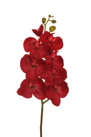 PHALAENOPSIS W7 RED
